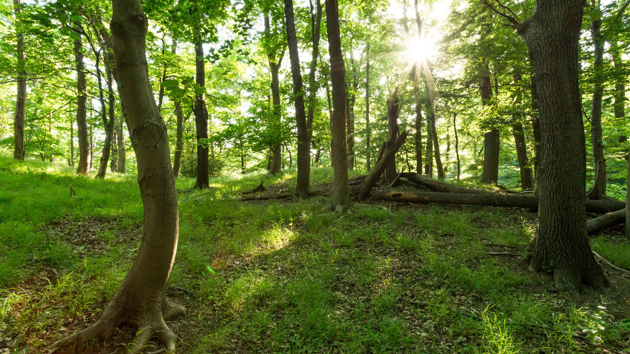 tree, sunbeam, nature, forest, tree trunk, sunlight, tranquil scene, sun, day, outdoors, scenics, lens flare, woodland, tranquility, beauty in nature, no people, growth, green color, landscape, summer, grass