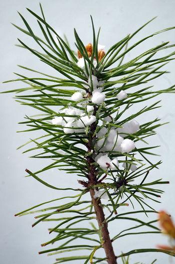 Junger Bonsai nach Graupelschauer April Bonsai Botanik Botany Draußen Eyeem April Garden Garten Graupel Hailstone Natur Nature No People Outdoors Pflanze  Plant Sleet White