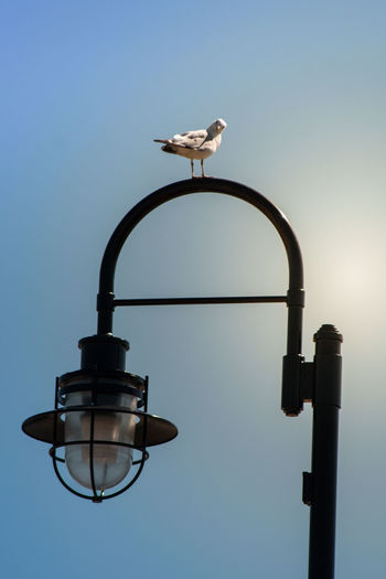 A Bird's Eye View Animal Themes Are You Looking At Me? Bird Birds Blue Clear Sky Day High Section Light Post Looking At Camera Looking Down No People One Animal Ontario, Canada Outdoors Perching Seagull Seagulls Showcase August Street Light Sunny Day The Week On EyeEm Tranquility Wildlife
