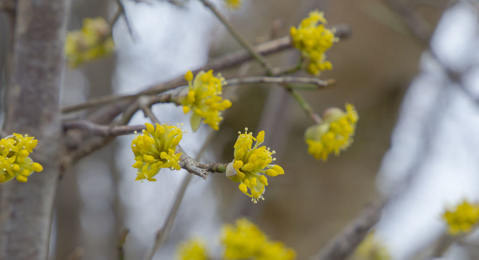 the flowers of a witch hazel shrub Beauty In Nature Branch Close-up Day Flower Flower Head Focus On Foreground Fragility Freshness Growth Nature No People Outdoors Plant Springtime Tree Yellow