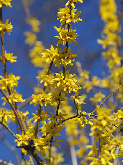 Frühlingsboten Forsythie Forsythienblüten Beauty In Nature Close-up Day Flower Flower Head Flowering Plant Focus On Foreground Forsythia Forsythia Flowers Fragility Freshness Growth Inflorescence Nature No People Outdoors Petal Plant Pollen Selective Focus Springtime Vulnerability  Yellow