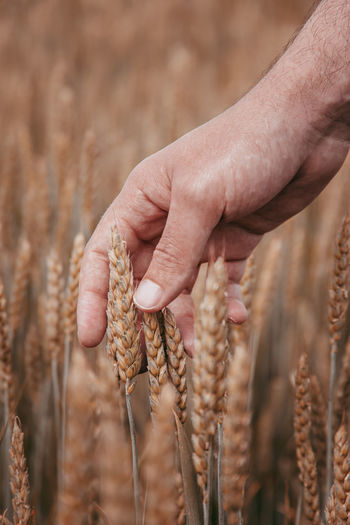 Close-up of a hand holding wheat