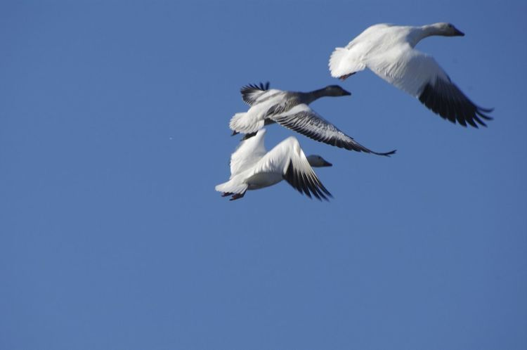 Animal Themes Animal Wildlife Animals In The Wild Bird Blue Bluesky Clear Sky Copy Space Day Flying Inflight Low Angle View Mid-air Motion Nature No People Outdoors Pelican Sky Snowgeese Spread Wings White Color
