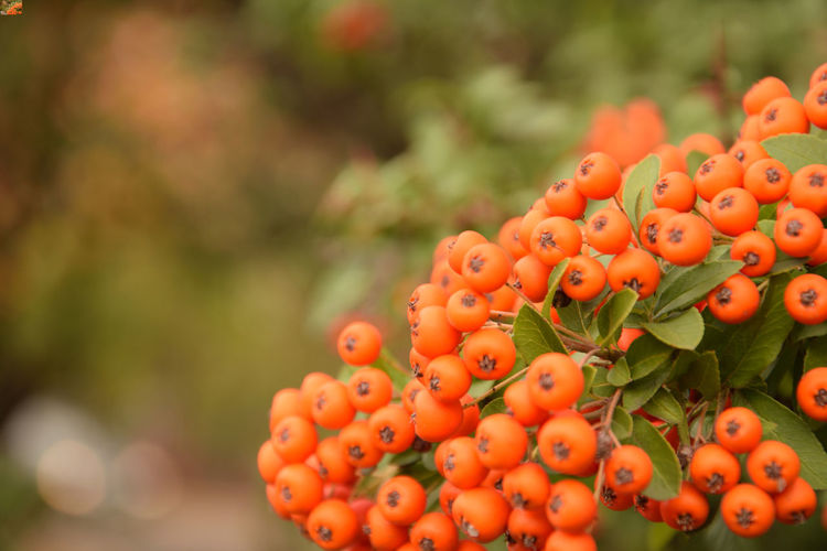 Orange cotoneaster fruits - close-up Cotoneaster Cotoneaster Berries Fruit Freshness Orange Color Focus On Foreground No People Close-up Day Growth Nature Selective Focus Berry Fruit Ripe Outdoors EyeEmNewHere
