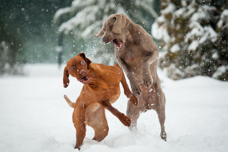 Dogs Dogs Playing  Females Fight Animal Animal Themes Canine Cold Temperature Dog Dogs Playing In The Snow Fighting Hound Motion Nature No People Outdoors Pets Play Fighting Playing Running Snow Snowing Viszla Weimaraner Winter #FREIHEITBERLIN