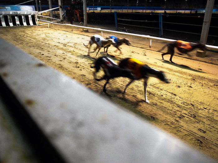 Competition Day Dog Racing Dog Training Domestic Animals Greyhound Greyhound Racing Growth Lifestyles Mammal Men Motion Nature Outdoors People Race Real People Wimbledon Wimbledon Dog Tra Wimbledon2015