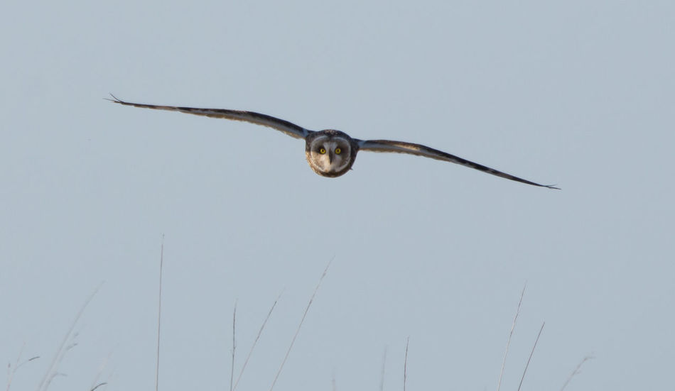 Bird Face Bird Eyes View Animal Themes Animal Wildlife Animals In The Wild Bird Bird Of Prey Clear Sky Day Flying In Flight Incoming Low Angle View Mid-air Nature No People One Animal Outdoors Owl Owl Eyes Owl Eyes Blue Decoration. Short Eared Owl Sky Spread Wings Towards