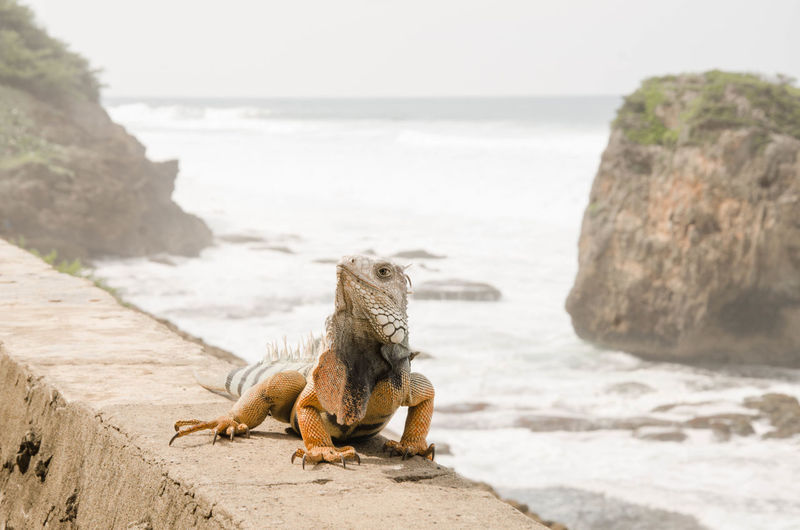 Side view of iguana on retaining wall against sea