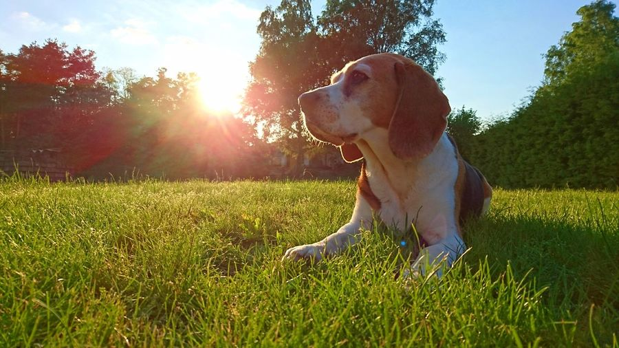 INSTAGRAM: coco_thebeagle_ Dog Pets Grass One Animal Domestic Animals Outdoors Animal Nature Summer Lawn Sunlight Sitting Animal Themes Beagle EyeEmNewHere The Great Outdoors - 2017 EyeEm Awards Beaglelove Beaglelife Beagle Channel Beagleoftheday Beaglelovers Beagle Dog Cocothebeagle Bestbeagle Lovemydog