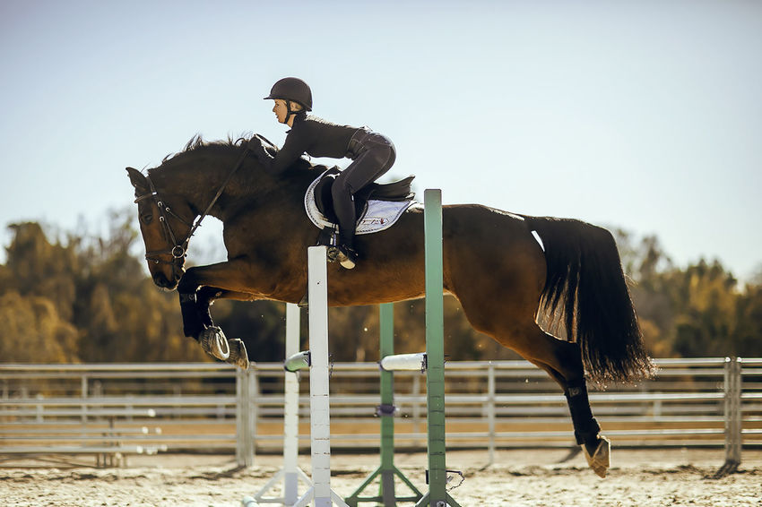 Adult English Horse Horseback Riding Horses Jumping One Animal Outdoors Showjumping
