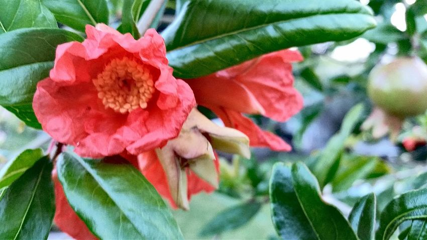 Flower Growth Nature Beauty In Nature Petal Fragility Plant Day Flower Head Freshness No People Outdoors Leaf Close-up Pomegranate Pomegranate Flowers Pomegranate Tree Wilting Flower Mobile Photography St. Croix USVI