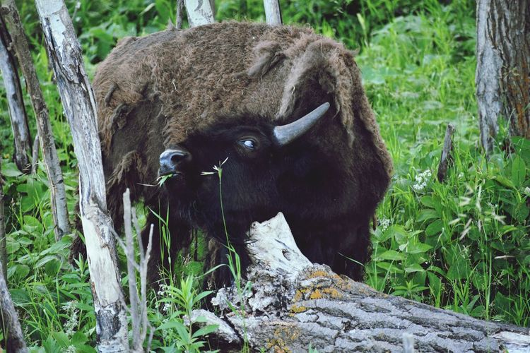 Itchy Bison