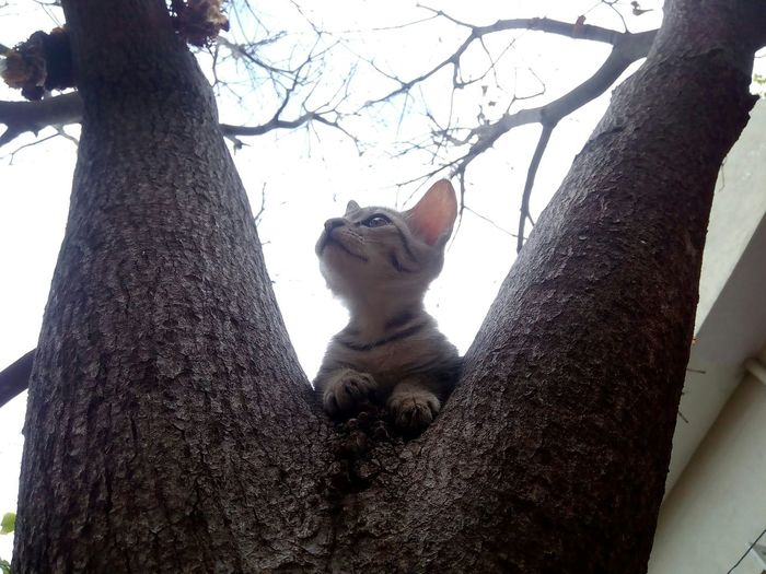 Tree Tree Trunk Branch Low Angle View No People Animal Themes Mammal Outdoors Sky Nature Day Cats Kitten Kitten On A Tree Cat On The Tree Tree Trunk Portrait Feline Nature One Animal Domestic Animals Domestic Cat Cat Portrait Pet Photography  Animal Pet Portraits