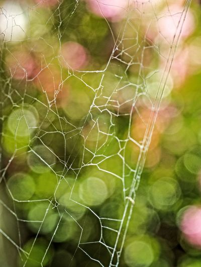Beauty In Nature Close-up Day Focus On Foreground Fragility Freshness Green Color Growth Nature No People Outdoors Spider Spider Web Web