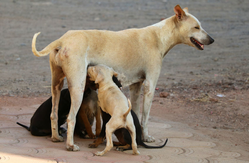 India street dog feeding to his young one Breed Breeder Family Feeding  Feeding Animals Hungry Mother NippleLove Adorable Animal Wildlife Cute Day Dog Doggy Domestic Animals Domestic Cat Nature Outdoors Pet Protection Protective Workwear Puppies Puppy White Young Adult