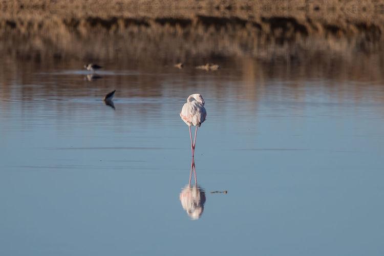 Flamingo standing in lake