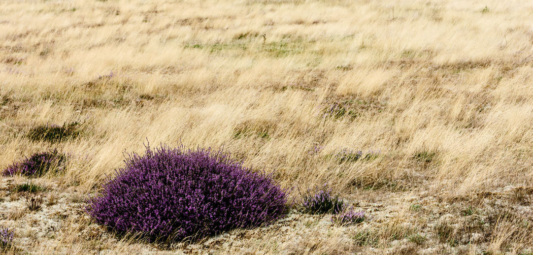 Heathland heather and grasses in Suffolk, UK Summertime Beauty In Nature Environment Flower Flowering Plant Grass Grasses Grasses In The Wind Heather Heathland  Heathland Grasses Land Nature Outdoors Plant Summer Tranquility
