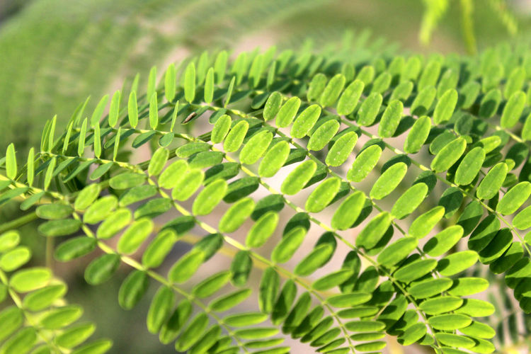 Green Color Leaf Plant Part Growth Plant Close-up No People Fern Selective Focus Nature Beauty In Nature Day Leaves Tranquility Outdoors Focus On Foreground Natural Pattern Pattern Botany Herb Houseplant