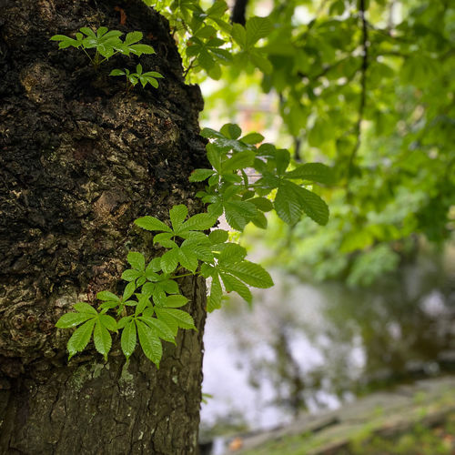 Close-up of fresh green leaves on tree trunk