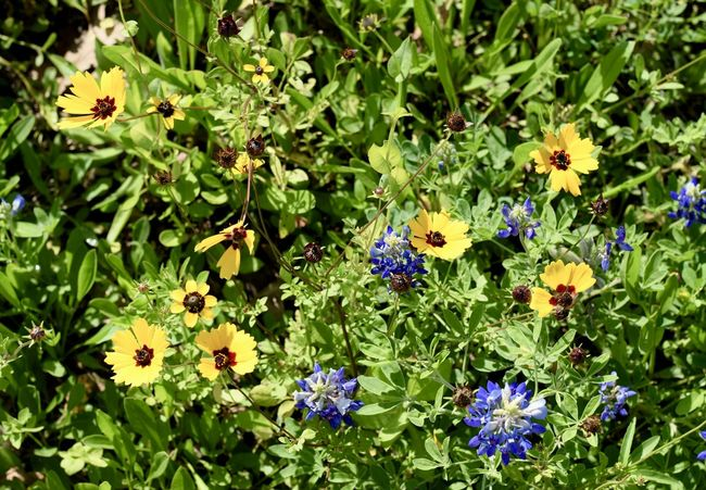Flower Growth Nature Plant Fragility Beauty In Nature Freshness Flower Head Petal Blooming Green Color No People Outdoors Day Bluebonnet Springtime 50mm Bokeh Coreopsis Wildflowers Houston Texas Tickseed