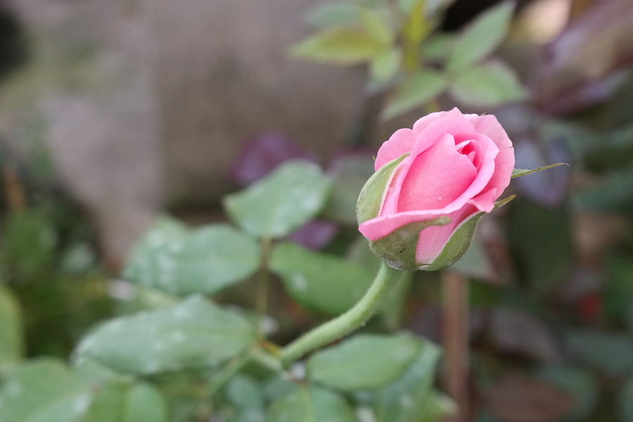 A rose by any other name Flowers Pink Rosé Pink Rose Petals Of Roses Millennial Pink Green Leaves. Leafes Flower
