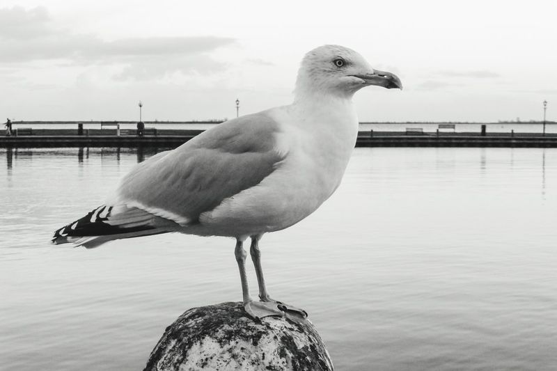 Close-up of seagull perching on wooden post against river