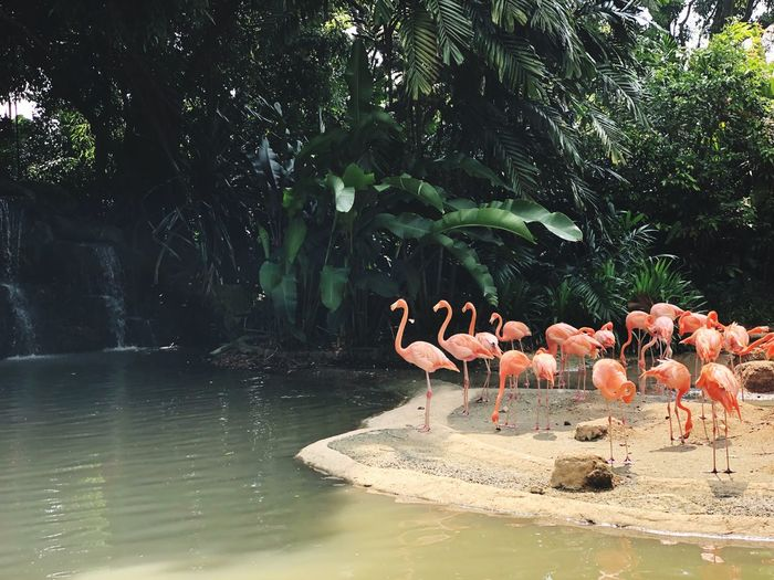 Greater Flamingoes 2 Singapore Zoo Water Animal Animal Themes Bird Vertebrate Tree Lake Flamingo Group Of Animals Plant Nature Waterfront Beauty In Nature No People Day Animal Wildlife