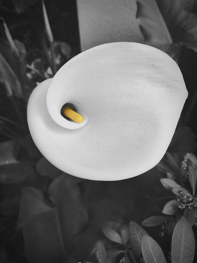 """Calla Lily in California"" On a cold, crisp winter day in Northern California a touch of yellow warms the heart. White Color Yellow Close-up Calla Lily Blackandwhite Blackandwhite Photography Selective Color Touchofcolor Contrast Flowers Northern California"