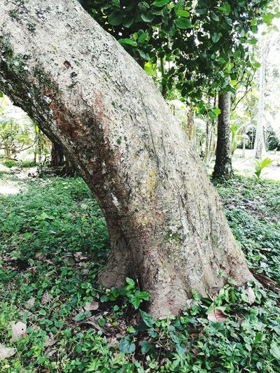 Signs of aging. Tree Day Tree Trunk OutdoorsNo People Beauty In Nature Growth Bending Over Bent EyeEm Nature Lover EyeEmNewHere
