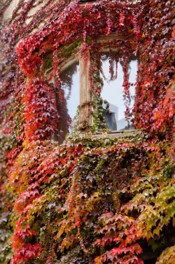 Ivy covered window