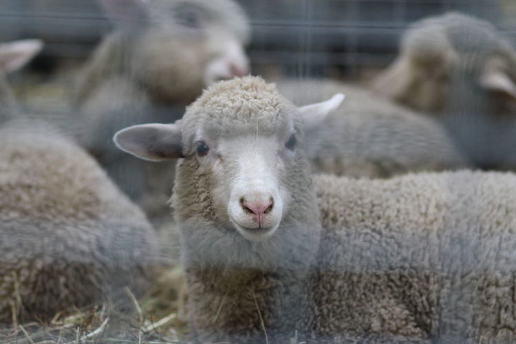 Close-Up Portrait Of Sheep