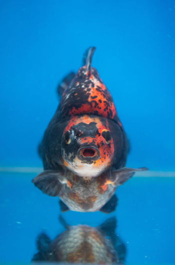 Beautiful calico ryukin fancy goldfish in fresh water glass tank on blue background