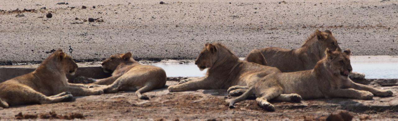 Lion Family EyeEm Selects Group Of Animals Animal Themes Animal Mammal Vertebrate Animal Wildlife Field Young Animal Animals In The Wild Livestock Animal Family Horse Domestic Animals Land Nature Outdoors Day No People Domestic Pets