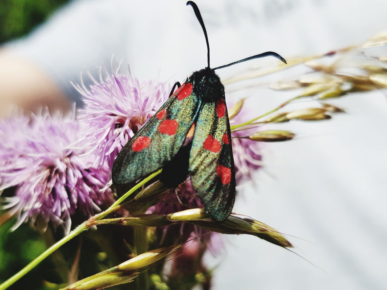insect, animals in the wild, animal themes, one animal, flower, nature, close-up, beauty in nature, animal wildlife, butterfly - insect, no people, purple, fragility, day, outdoors, plant, growth, freshness, flower head