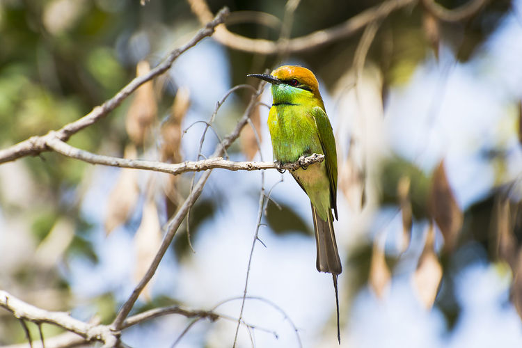 Little green bee-eater Bird Vertebrate Animal Wildlife Animal Themes Perching Animals In The Wild Animal Branch Tree One Animal Plant Focus On Foreground Day Selective Focus No People Nature Green Color Outdoors Full Length Beauty In Nature Green Bee-eater