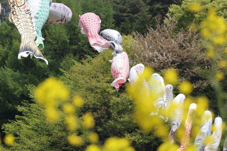 Koinobori hanging against trees