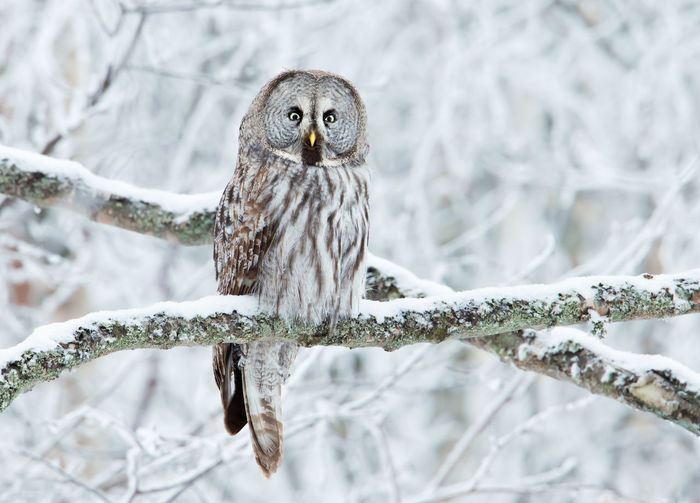 Portrait of owl perching on branch during winter