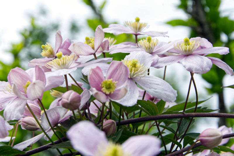 clematis Beauty In Nature Clematis Close-up Day Flower Flower Head Flowering Plant Fragility Freshness Garden Fence With Flowers Growth Inflorescence Nature No People Outdoors Petal Pink Color Plant Pollen Purple Selective Focus Springtime Tree Vulnerability  White Color