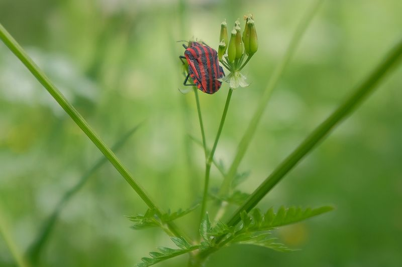 Striated Bug