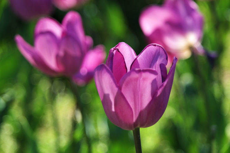 Tulip Tulips Flower Freshness Beauty In Nature Pink Color Focus On Foreground Nature Day Purple Outdoors Flower Head Plant Flowering Plant
