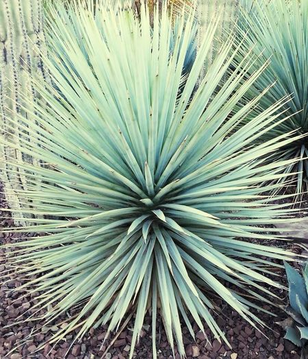 Desert Botanical Garden. Arizona Way Out West Desert Beauty Plant Desert Botanical Garden Nature Beautiful Scenic