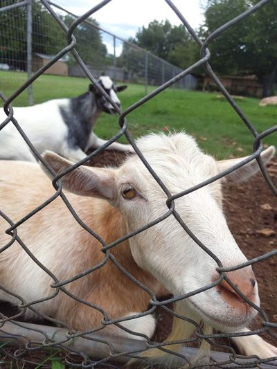Portrait Of Goat Sitting Behind Chainlink Fence On Field