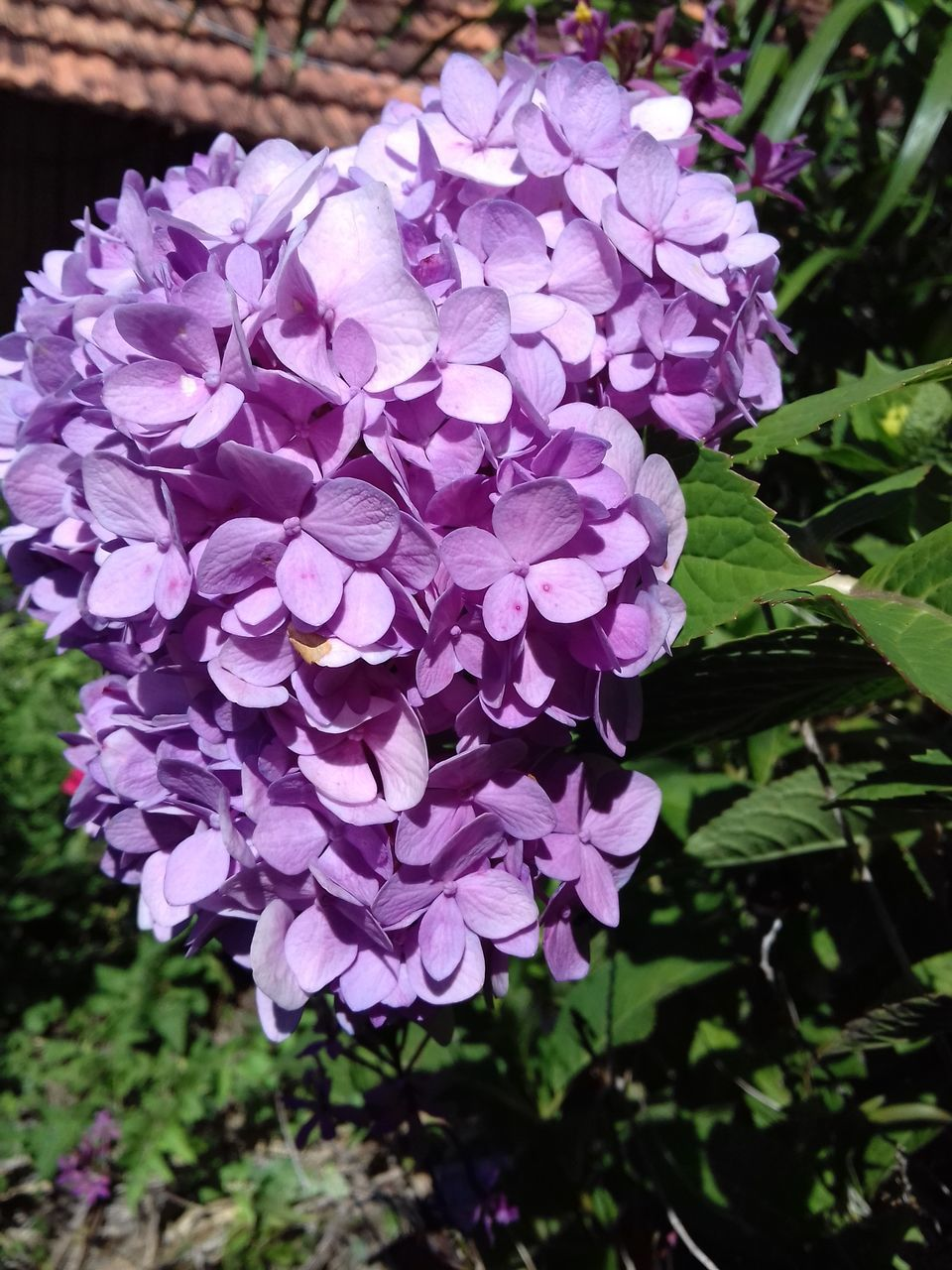 flower, nature, beauty in nature, petal, growth, purple, fragility, plant, hydrangea, freshness, blooming, lilac, outdoors, no people, day, flower head, close-up