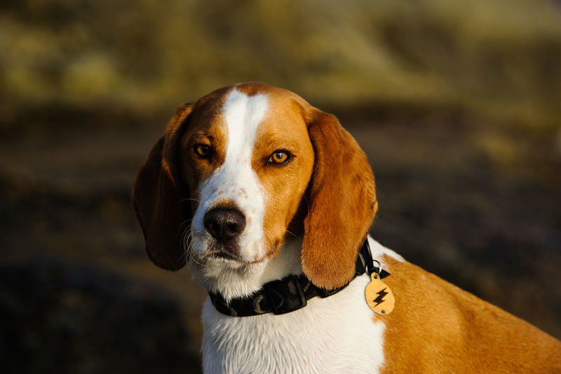 Close-up portrait of beagle standing on field