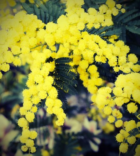 beauty yellow mimosa flowers on the plant in March with vintage style 2018 IWD International Women's Day Mimosa Flowers Womens Day Beauty In Nature Close-up Festa Della Donna Flower Flower Head Freshness Growth Iwd2018 Mimosa Nature No People Outdoors Plant Yellow