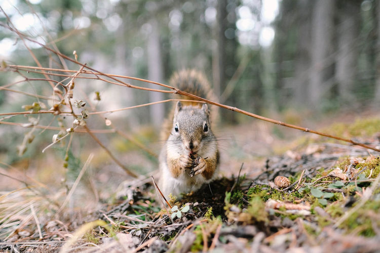 Animal Themes One Animal Animal Mammal Animal Wildlife Tree Land Nature Selective Focus Forest Plant Rodent Animals In The Wild Day Squirrel No People Vertebrate Outdoors Focus On Foreground Branch Herbivorous