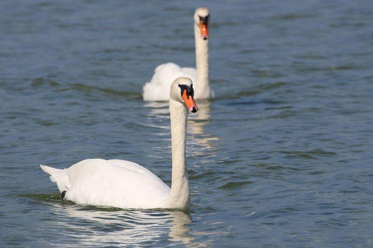 Schloßgut Groß Schwansee Animals In The Wild Bird Animal Wildlife Animal Themes Water Swan Animal Swimming Mute Swan Nature Waterfront