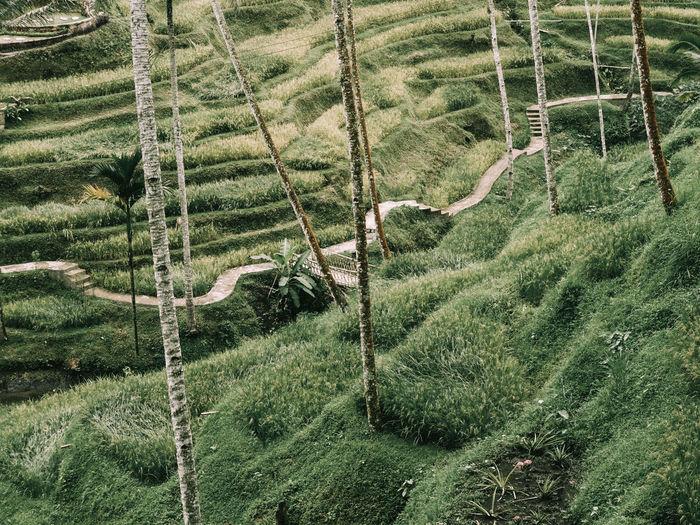 rice field,