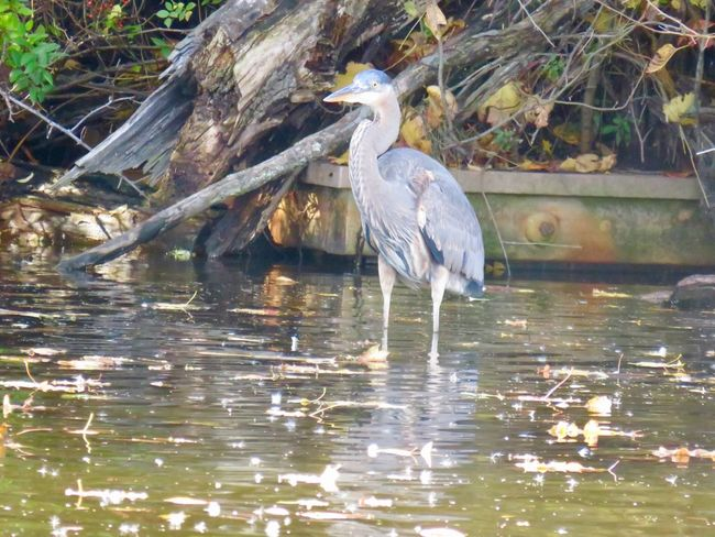 Blue heron wading birds of EyeEm beauty in nature trees leaves water birdwatching close up Animal Themes One Animal Water Bird No People