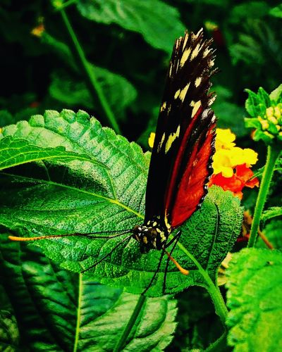 Macro Macro_collection Macro Photography Butterfly Butterfly Collection Lepidoptera Taking Photos Colourful Beauty In Nature Naturesbeauty Naturelover Mobilephotography Me, My Camera And I Capture The Moment Naturelovers Nature Macro Beauty Insect Vibrant Wings Simple Photography Simplicity